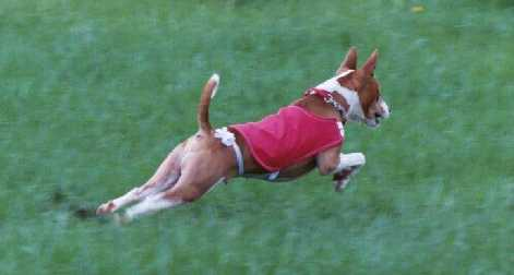 Gizmo takes to coursing