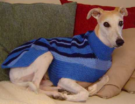 breeds dogs maintain body heat coat ensure stay healthy whippet in sweater